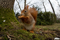 red squirrel, Eichhörnchen, Sciurus vulgaris @ Clara Zetkin Park, Leipzig, 2018 (Jan Rillich) Tags: jan rillich janrillich picture photo photography foto fotografie eos digital wildlife animal nature beautiful beauty sunny sun fauna flora free animalphotography auwald auenwald aue elster leipzig image 2017 5dmarkiii canon fisheye sigma 15mm kid fun 15mmf2 8 sigma15mmf28 wideangle weitwinkel winter snow cold germany canon5d 2018 urban urbannature nutria funny fischauge eichhörnchen sciurus vulgaris red squirrel clarazetkin park eurasian european rot ardillaroja ardilla roja