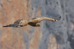 Grifone (Ricky_71) Tags: griffon vulture gyps fulvus spring verodn nikon