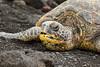 8F9A6852 (ericvdb) Tags: turtle seaturtle blacksandbeach beach hawaii bigisland