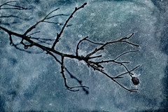 Life Force (shawn~white) Tags: hawthorn alteredstate berry blue branch cold dark dream energy fruit grunge layers magic magical mystery mystic night texture tree trippy