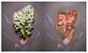 Hyacinth lumen print diptych (julesnene) Tags: aristarcplus california flower juliasumangil sunprint alternativephotography backyard bulb diptych flora hyacinth julesnene lumen lumenart paintedbythesun photogram lumenprint