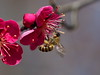 Japanese honeybee pollinating Japanese apricot blossoms (Greg Peterson in Japan) Tags: yasu 滋賀県 bugs shiga japan plants 昆虫 植物 flowers plumblossoms 野洲市 梅 ニホンミツバチ 花 wildlife shigaprefecture 500px