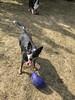 (Cheeseisboss) Tags: kenny ball mitch cattle dog cattledog