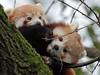 red panda Blijdorp BB2A8935 (j.a.kok) Tags: panda redpanda rodepanda kleinepanda blijdorp animal mammal asia azie china zoogdier dier