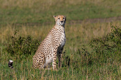 Bored Cheetah (arcadia1969) Tags: maasaimara kenya africa lion cheetah lioness wildanimal davidlloydsafari safari