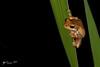 Whistling Tree Frog (R. Francis) Tags: whistlingtreefrog litoriaverreauxii dorrigo ryanfrancisphotography ryanfrancis midnorthcoast nsw nswnorthcoast