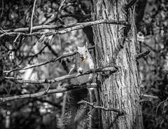 Yosemite Park (fabrizio.silvani.ph) Tags: animale animal scoiattolo albero tree foresta forest ghianda yosemitepark statiuniti unitedstates california nikon