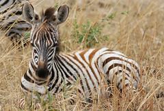 Time For A Rest (AnyMotion) Tags: plainszebra steppenzebra equusquagga baba foal fohlen 2006 anymotion tarangirenationalpark tanzania tansania africa afrika travel reisen animal animals tiere nature natur wildlife 20d canoneos20d