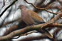 "Ring-Necked_Dove_01 (DonBantumPhotography.com) Tags: wildlife nature birds animals buttecounty ""donbantumphotographycom"" ""donbantumcom"" ""nikon d7200"" ""afs nikkor 200500mm f56e ed vr"" ringneckdove"