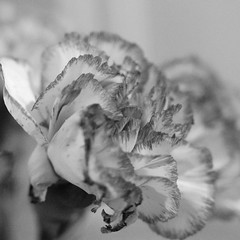 Carnation (andymudrak) Tags: 365 365photochallenge 365days photography macro flower bw carnation squareformat
