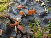 Peltigera horizontalis (Philip_Goddard) Tags: peltigera lichens fertile apothecia muscicolous terricolous foliose southwestengland england unitedkingdom britain british britishisles greatbritain uk europe