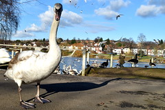 Cygnet, Brookvale Lake/Park (Manoo Mistry) Tags: nikon nikond5500 tamron tamron18270mmzoomlens erdington westmidlands birminghampostandmail birmingham cygnet swan lowangle lake sky wideangle flickr flicker