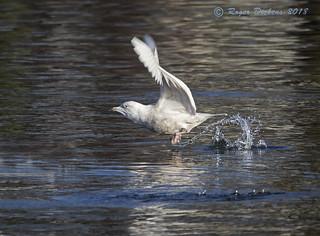 Iceland gull 13