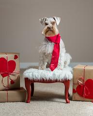 Quincy Valentine (Cheryl3001) Tags: dog schnauzer valentine day canon 5d mark iii 85mm 18 nikcollection