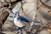 classic pose (Aaron_Smith_Wolfe_Photography) Tags: scrubjay maple sierra nevada nikon d810 300mm f4 blue winter