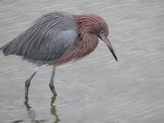 IMG_2290 Reddish Egret,