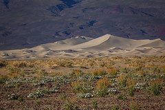 Desert Mallow and Sand Dunes (Jeffrey Sullivan) Tags: deathvalley nationalpark sand dunes sanddunes california usa night timelapse landscape photography canon 5d mark iii road trip jeff sullivan photo copyright april 2014 spring wildflower death valley national park flower wildflowers