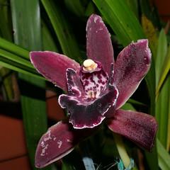 snail-damaged, Cymbidium Christmas Wish hybrid orchid (nolehace) Tags: cymbidium christmas wish hybrid orchid 118 winter nolehace sanfrancisco fz1000 flower bloom plant