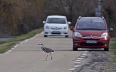 ATTENTION en traversant la route, une voiture peut en cacher une autre ! - IMG_3062 (6franc6) Tags: occitanie languedoc gard 30 petitecamargue février 2018 6franc6 danger vitesse explore