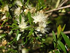 Myrceugenia pinifolia (Mono Andes) Tags: chile chilecentral regióndelbiobío concepción floranativadechile mirtaceae myrceugeniapinifolia cordilleradelacosta myrceugenia myrtaceae