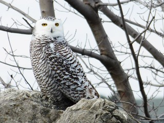 A snowy owl in the park
