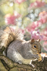 Going nuts for Spring (adrians_art) Tags: greysquirrels fur furry nature wildlife greenwichpark london uk england trees plants flowers springtime seasons eating springblossoms portrait head face