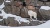 Rocky Mountain Goats  : February 11, 2018 (jpeltzer) Tags: ottawa montebello quebec parcomega winter