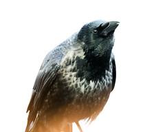 Hoodiecrow (axel.becker73) Tags: krähe nebelkrähe hoodiecrow hooded crow vogel aves bird vogelfotografie wildlife wildlifephotography schwerin germany deutschland