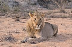 """My Sandbox"" (The Spirit of the World ( On and Off)) Tags: lion bigcat cat feline sand riverbed nature wildlife brush bush gamedrive safari privategamereserve africa southafrica portrait"