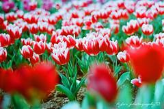 Tulips (紅襪熊(・ᴥ・)) Tags: autotakumar55mmf18 takumar 55mm f18 55 18 bokeh autotakumar pentax m42 spf 底片 film 銀鹽 filmphotography 花 flowers flower camelliajaponica 陽明山 kodak ektar 100 kodakektar100 ektar100 tulip 鬱金香