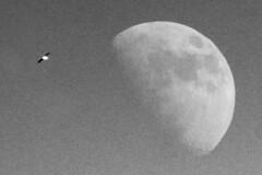 Moonbirb (Greenpants Photography) Tags: noisy blackwhite monochrome moon birb bird sky flying scale size