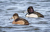 Ring-necked Duck pair (tresed47) Tags: 2018 201802feb 20182018middlecreekbirds birds canon7d content ducks february folder lancastercounty middlecreek pennsylvania peterscamera petersphotos places ringneckedduck season takenby us winter ngc