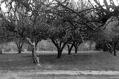 Bothell Orchard (bac1967) Tags: kodak six16 brownie special kodaksix16browniespecial six16film black white bw monochrome monotone verichrome kodakverichrome bothell bothellwa pacificnorthwest pnw washington wa washingtonstate 616 616film walterdorwinteague tree trees park blackandwhite blackandwhitefilm waynesgolfcourse orchard sammamish sammamishriver slough forest