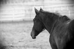 Horse, Danada Forest Preserve. 16 (EOS) (Mega-Magpie) Tags: canon eos 60d outdoors horse equine danada forset preserve wheaton dupage il illinois usa america bw black white mono monochrome