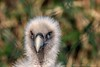 Was zum Geier... (Re Ca) Tags: 150600mm canon duisburg tiere zoo eos70d nrw sigma geier vogel