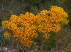 Verticordia nitens, Wanneroo - Bullsbrook, near Perth, WA, 28/11/17 (Russell Cumming) Tags: plant verticordia verticordianitens myrtaceae wanneroo bullsbrook perth westernaustralia