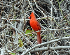 Male Red Cardinal (The Old Texan) Tags: cardinal male texas p900 nikon nature