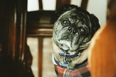 Frank, the pug (Stefania Avila) Tags: dog pug pugs animal vintage