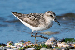Sanderling (mattbpics) Tags: sanderling shorebird longbeach stratford connecticut canon 70d tamron 150600 150600mm