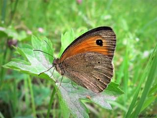 Butterfly 1617