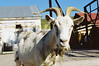Коза (SorniNai) Tags: animals nature village goat animal коза козёл деревня животные урал middleural ural 35mm 35mmfilm film filmphoto
