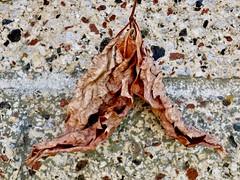 Leaf Blending (reflection below) (Robert Cowlishaw (Mertonian)) Tags: leafblending texture brick wall lunchwalk amazed canonpowershotg1xmarkiii january canon powershot g1x mark iii mertonian robertcowlishaw detail macro hanging crisp veins fragile ineffable wonder awe beautiful beauty