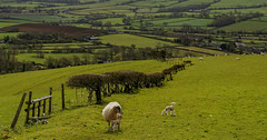 Dorset countryside, on the way to West Bay (cantdoworse) Tags: farm sheep lamb countryside hedge fence landscape dorset england jurassic coast canon 6d
