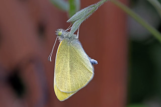 Pieris rapae - the Small White