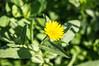 Ψίνθος (Psinthos.Net) Tags: ψίνθοσ psinthos ιανουάριοσ γενάρησ january winter χειμώνασ φύση εξοχή nature countryside afternoon απόγευμα απόγευμαχειμώνα χειμωνιάτικοαπόγευμα λουλούδια άγριαλουλούδια αγριολούλουδα wildflowers yellowflowers κίτριναλουλούδια χόρτα greens pollen γύρη field χωράφι κιτρινάκια ηλιόλουστημέρα sunnyday