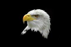 Female Southern Bald Eagle (Haliaeetus Leucocephalus)  -  (Selected by GETTY IMAGES) (DESPITE STRAIGHT LINES) Tags: nikon d800 nikond800 nikkor200500mm nikon200500mm nikongp1 paulwilliams despitestraightlines flickr gettyimages getty gettyimagesesp despitestraightlinesatgettyimages eagle seaeagle baldeagle bird birdofprey beak feathers eye aneagleseye eagleeye eyeoftheeagle flylikeaneagle northamericanbaldeagle southernbaldeagle haliaeetusleucocephalus