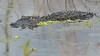 O2K_4177 (68photobug) Tags: 68photobug nikon d7000 sigma 150500mm usa centralflorida polkcounty lakeland circlebbar reserve preserve refuge park marsh sanctuary wetlands pinescrub nature naturecenter discoverycenter environmentalcenter wildlifemanagement alligatoralley gators alligator americanalligator lurking
