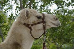 Glenn (ucumari photography) Tags: ucumariphotography naples florida zoo january 2018 camel animal mammal dsc5686