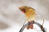 Cardinal (eva8*) Tags: cardinal female winter