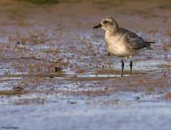 Tarambola Cinzenta (Pluvialis squatarola) |  Grey Plover | Kiebitzregenpfeifer | Chorlito Gris | Pluvier argenté |  Pivieressa (Fernando Delgado) Tags: greyplover pluvialissquatarola chorlitogris kiebitzregenpfeifer pluvierargenté pivieressa tarambolacinzenta limícolas waterbirds waders parquenaturaldariaformosa algarve portugal ilhadefaro birds aves birdwatching birdphotographing wildlife nature natureza